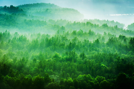 shrouded: Forested mountain slope in low lying cloud with the evergreen shrouded in mist