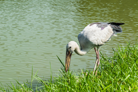 anastomus: Asian openbill stork, bird in Thailand