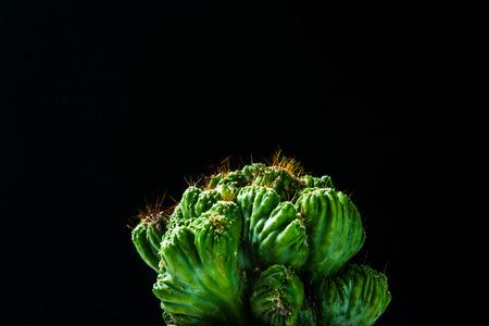 aloe vera flowers: close up cactus on black background