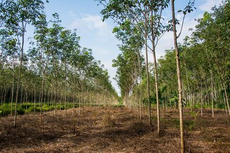 rubber: rubber tree , rubber plantation