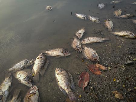 강에서 죽은 물고기. 어두운 물의 수질 오염