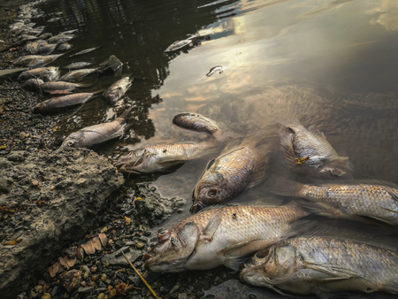 Dead fish on the river. dark water water pollution 版權商用圖片