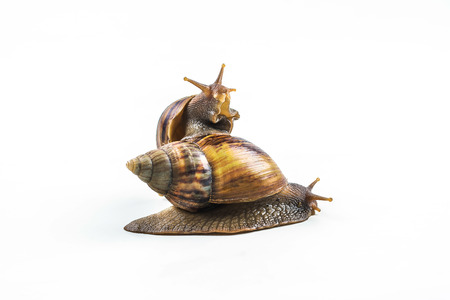 snails on white background  ,Can convey the love of family or Love between mother and child .