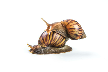 snails on white background  ,Can convey the love of young people or competition Stock Photo