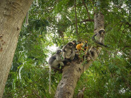 Dusky leaf monkey on the tree .