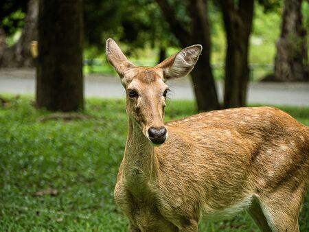 Close-up Eld's deer or Brow-antlered deer (Rucervus eldii thamin) standing on the lawn .