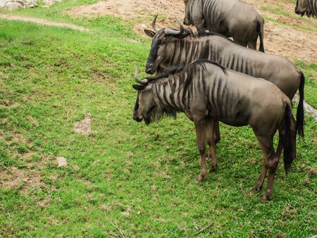 Common Wildebeest or gnu on lawn . Stockfoto