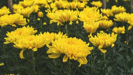 Colorful yellow and orange chrysanthemum flower bloom in the farm .