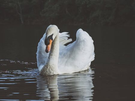 A white swan swimming on the water