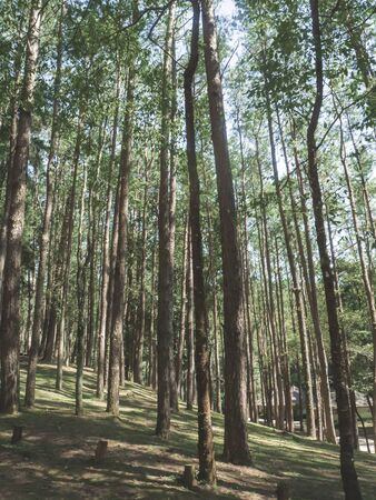 pine forest in Doi Inthanon National Park , Thailand  .