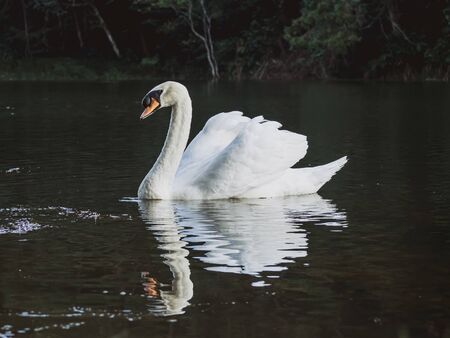 A white swan swimming on the water .