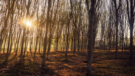 Wooded forest trees backlit by golden sunlight before sunset with sun rays pouring through trees on forest floor illuminating tree branches
