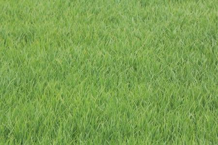 Paddy field,Thailand photo