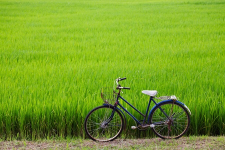 old bicycle with paddy field background  photo