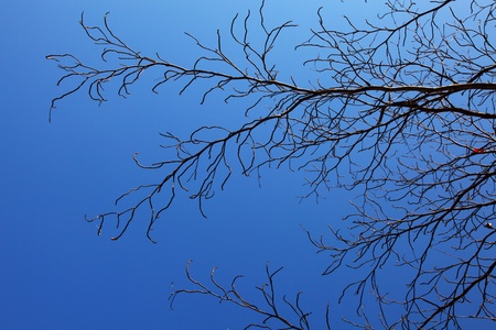 dead tree with blue sky  photo