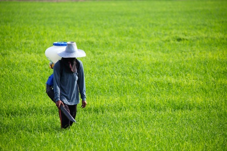 Farmer spreading  fertilizer in rice field