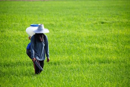 Farmer spreading  fertilizer in rice field Editorial