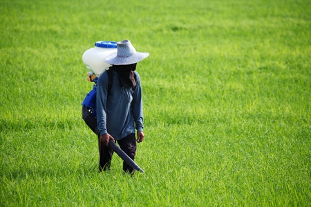 Farmer spreading  fertilizer in rice field photo