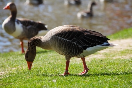 white fronted goose: Greater white fronted goose on coast Stock Photo