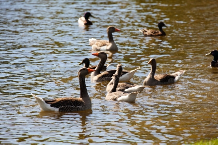 white fronted goose: Groups of white fronted goose swimming in a lake