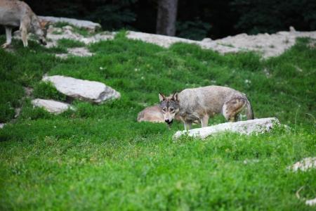 Grey wolves feeding on carcass