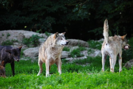carcass: Roedel wolven voeden karkas in natuurlijke