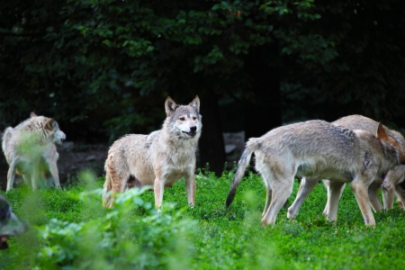 Pack of wolves in natural