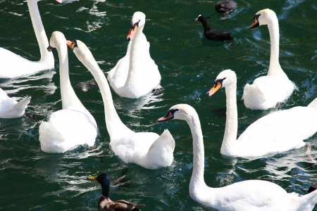 A group of swans feeding on the river, Zurich, Switzerland