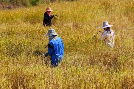 Farmer harvesting in rice field