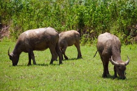 Buffaloes feeding in grass field