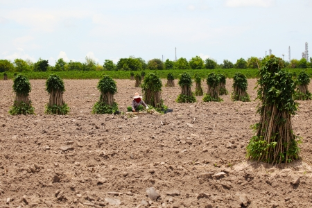 Farmer Preparing Young Cassava Plant photo