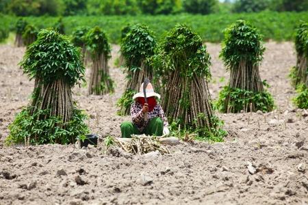 Farmer Preparing Young Cassava Plant Zdjęcie Seryjne