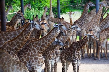Herd of Giraffe Zdjęcie Seryjne