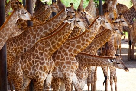 Herd of Giraffe photo