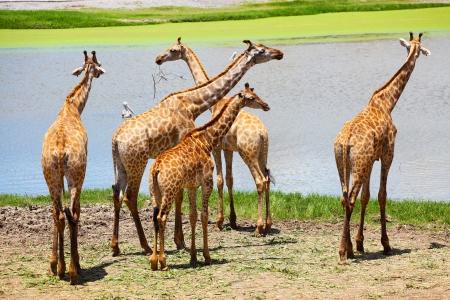 Group of Giraffes Eating Grass
