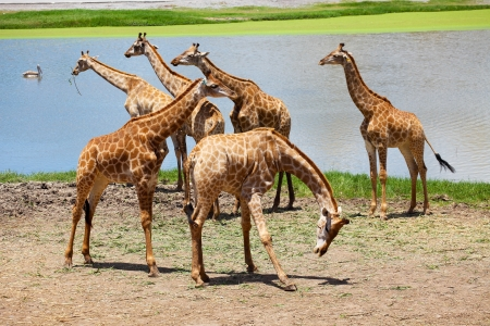 Group of Giraffes Playing Along River