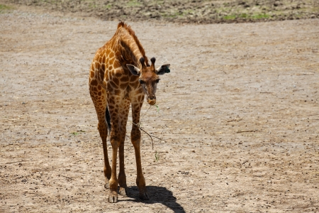 Giraffe Baby Eating in Barren Area Zdjęcie Seryjne