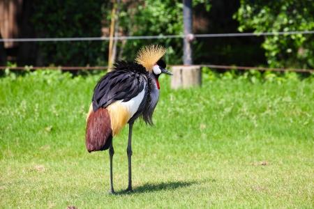 Crowned Crane in Grassland