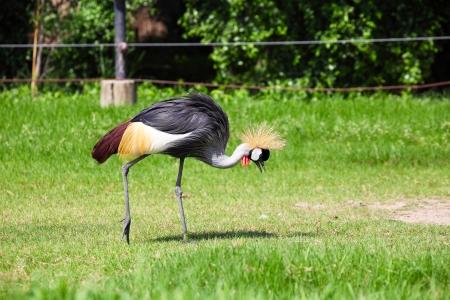 Crowned Crane Seeking for Food in Grassland