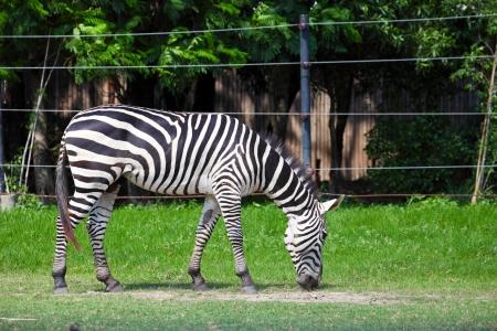 Zebra Grazing in Green Field Zdjęcie Seryjne
