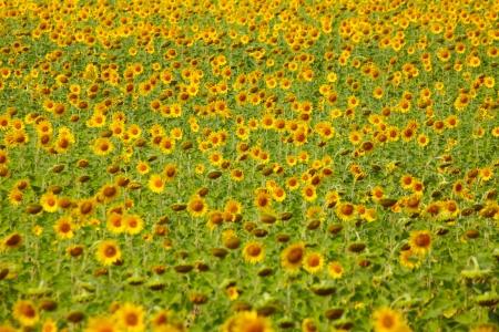 Sunflower Field Zdjęcie Seryjne - 24898200
