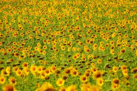 Sunflower Field Zdjęcie Seryjne - 24898203