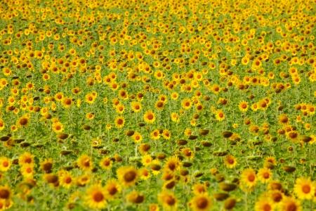 Sunflower Field Zdjęcie Seryjne - 24898212