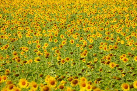 Sunflower Field Zdjęcie Seryjne