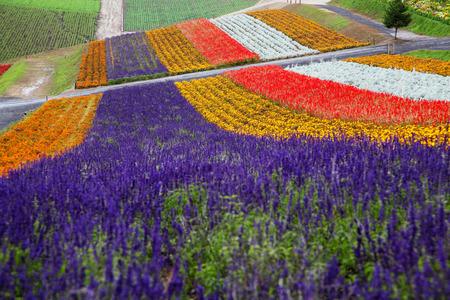 Lavender Farm in Hokkaido, Japan Zdjęcie Seryjne - 34486598
