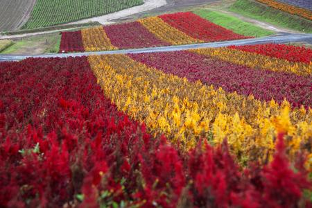 Flower Garden in Hokkaido, Japan Zdjęcie Seryjne - 34486602