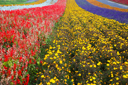 Lavender Farm in Hokkaido, Japan Zdjęcie Seryjne - 34486640