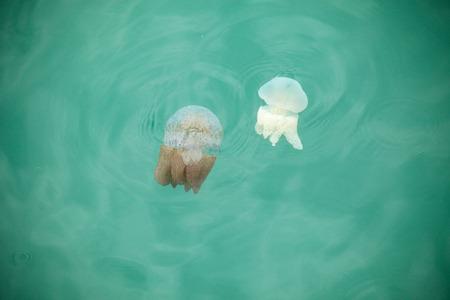 Beautiful Jellyfish Floating in the Sea