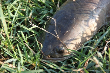 Striped snakehead fish Lying on the grass  Stock Photo - 17618410