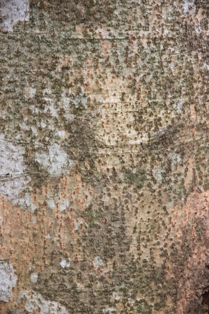 tapper: Bark of the rubber tree  Stock Photo
